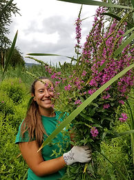 Purple loosetrife invasive plant management