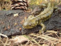 Blotched Tiger Salamander