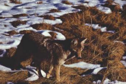 Coyote & Wolf