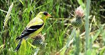 Goldfinch%20on%20(invasive)%20thistle%20