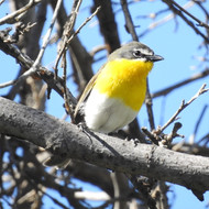 Yellow Breasted Chat - inaturalist no ri