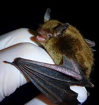 Little Brown Myotis (Little Brown Bat)