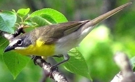 Yellow-Breasted-Chat-Oregon - Public dom