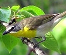 Yellow-Breasted-Chat-Oregon%20-%20Public