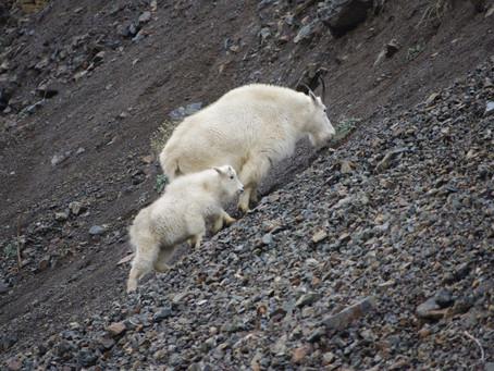 Gravity-defying Goats