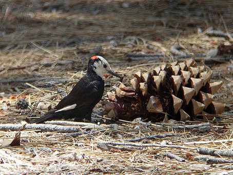 Wild about Woodpeckers