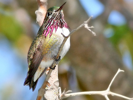 Small But Mighty: The Calliope Hummingbird