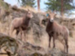 California Bighorn Sheep in Rugged Grassland in the Okanagan