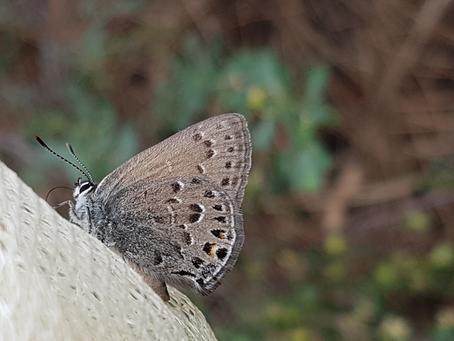 Behr's Hairstreak Butterfly