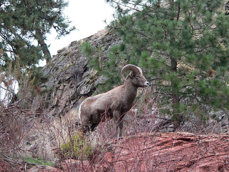Bighorn Sheep are well named