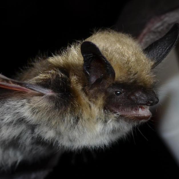 Fringed Bat