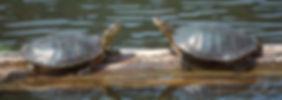 W12__turtle%20rCHPIx2_edited.jpg