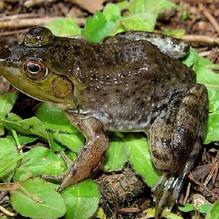 INVASIVE: American Bullfrog