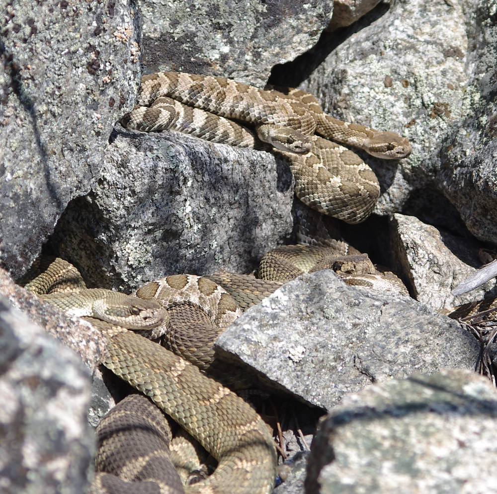 snakes hiding and basking on rocks