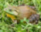 North-American-bullfrog1 (1280x991).jpg