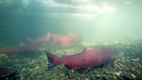 The Mighty Chinook Salmon