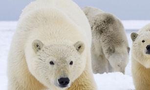 WWF_polarbears.jpg