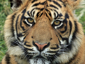 support the Big Cat Public Safety Act