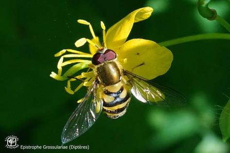 Epistrophe Grossulariae