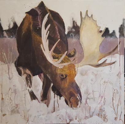 Moose Walking in Snow.