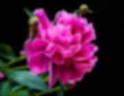 pink-peony-771540_960_720.jpg