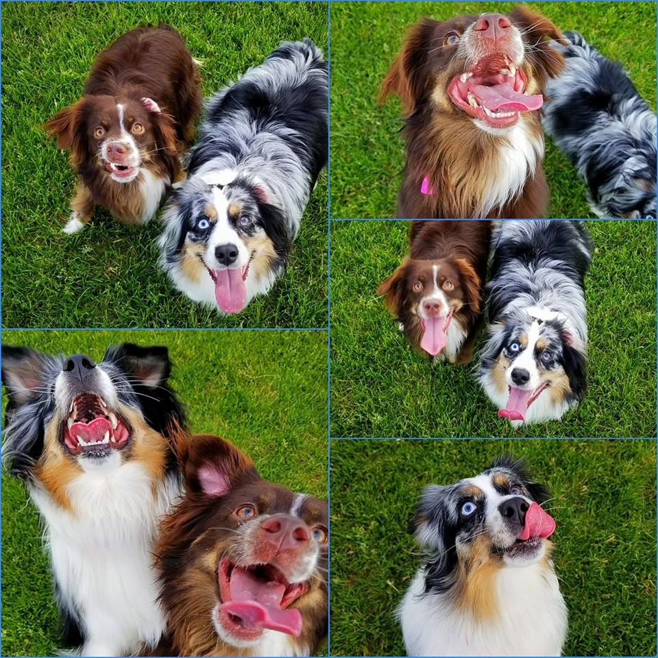 Zoey-Red Tri & Lucy-Blue Merle