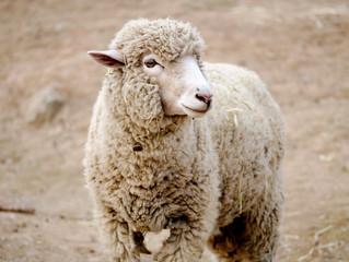 Sheep Who Want A Shepherd