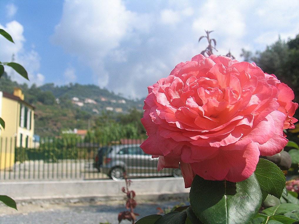 "Розы в ""IL CASTELLETTO"""