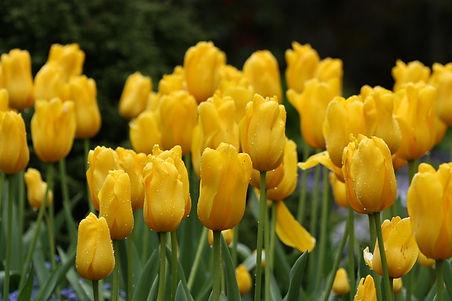 Vic tulips.jpg