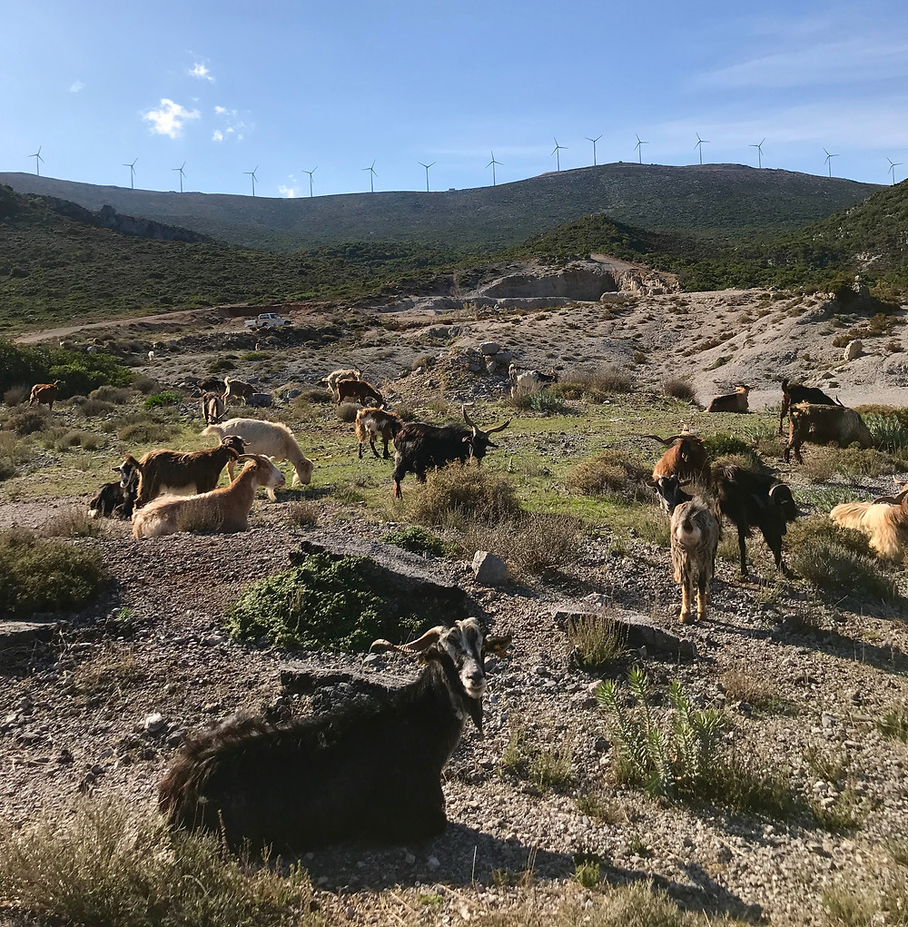 Peloponez Grecja stada kóz