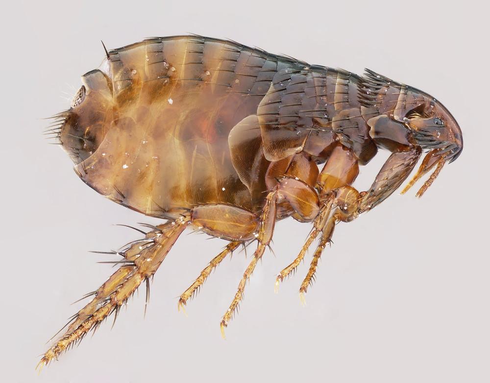 flea-11.jpg