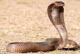 Eqyptian Cobra