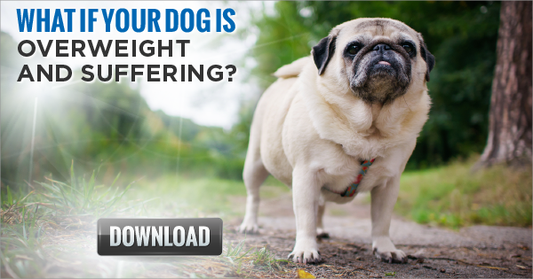 What if Your Dog is Overweight and Suffe