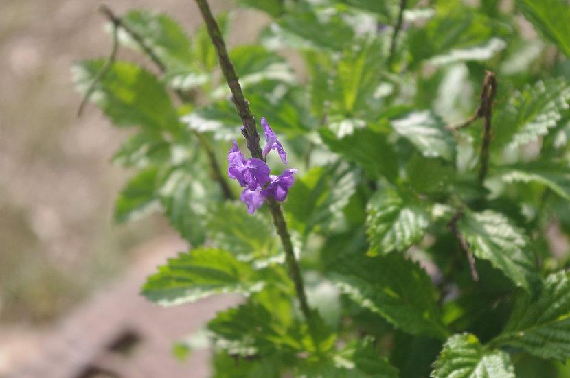 Blue Porterweed  (Stachytarpheta urticifolia)