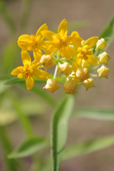 Butterfly Weed   Milkweed Asclepia