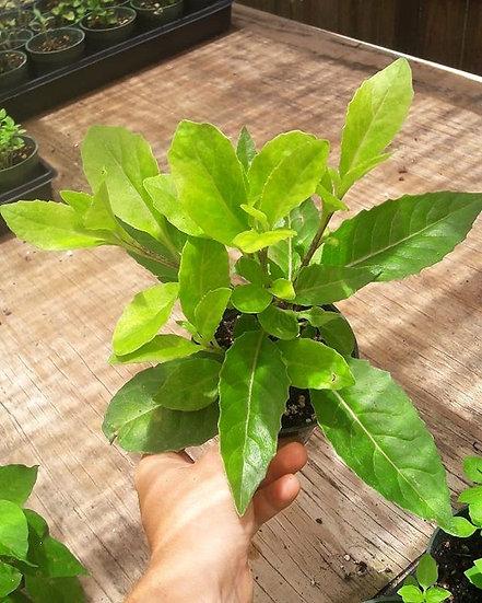Longevity Spinach Bundle
