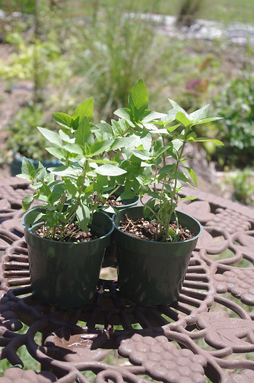 Thai Basil Bundle