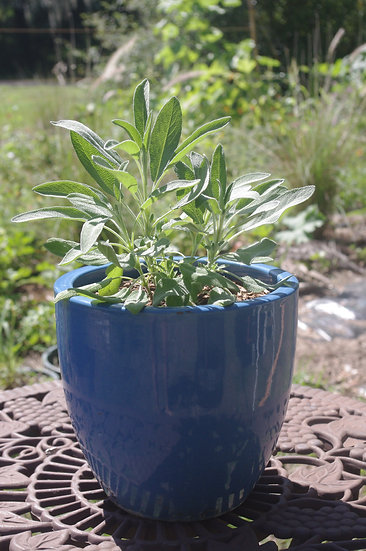 Common Sage Patio Pot