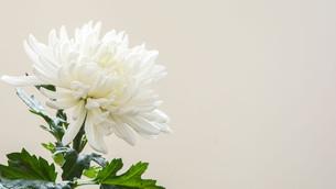 9月9日は菊の節句