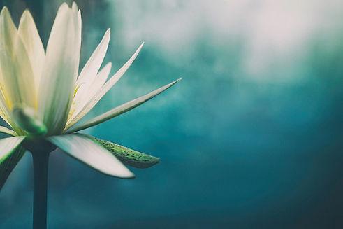 lotus blanc.jpg