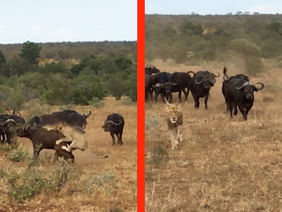 BUFFALOES TRY SAVING BUFFALO FROM HUNTING LIONS