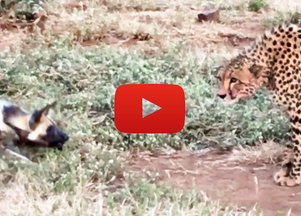 Wild Dogs vs Cheetah Standoff Over a Kill