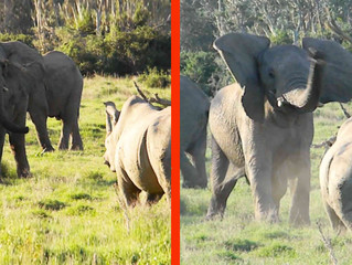 ELEPHANT SHOWS RHINO WHO'S BOSS