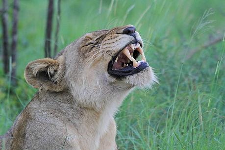 Lion Yawning in Kruger National Park