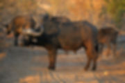 Buffalo in Sabi Sands Game Reserve, Greater Kruger National Park