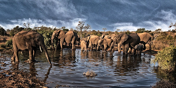 Elephants drinking from waterhole in Kruger National Park