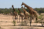 Journey of Giraffes in Kruger National Park