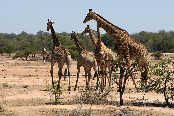 Journey of Giraffes in Kruger National Park