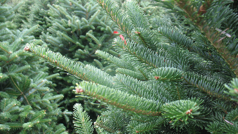 The Gardens I Tulare, CA | Nordmann Fir Christmas Tree 6'-7'