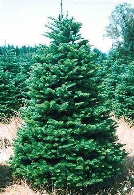 Noble Fir Christmas Tree.Noble Fir Christmas Tree 6 7